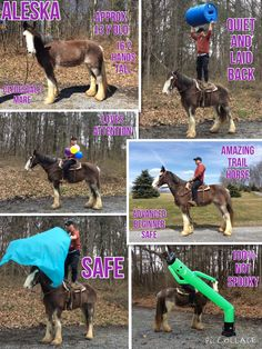 FOUND A NEW HOME   ***Don't miss out on this one***  Aleska Approx 13 year old Clydesdale Mare 16.2 hands tall Advanced Beginner safe More whoa than go Will trot and lope nicely under saddle She's an amazing trail horse Absolutely safe and not spooky She would make a great Mounted Patrol a Horse Quiet and laid back Super sweet Temperament Very personable LOVES attention No Vices Not marish Super easy going girl  DREAM HORSE DELUXE people always ask about a Clydesdale Here she is, don't miss…