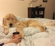 Don't talk to me before coffee (or breakfast) #welovegoldens by goldenretrievers_
