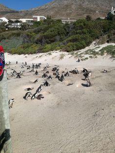 #bouldersbeach #africanpenguin #southafrica African Penguin, South Africa, Water, Photos, Life, Animals, Outdoor, Gripe Water, Outdoors