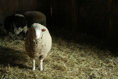 Sheep and shadow
