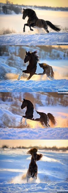 Horses playing in the snow on cool Winter's morning. Snow day! Beautiful horses running, Paint markings and dark horses with their manes flowing in the wind.