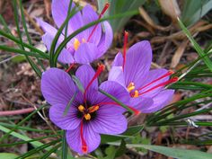 Na foto, a flor Crocus Sativus e os pistilos vermelhos em destaque.