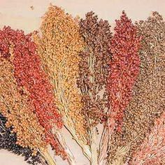 Colored Upright Sorghum Blend