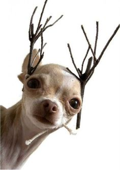 Chihauhau Reindeer