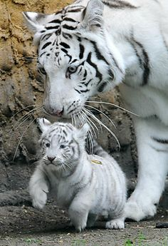 mother and baby tigers | Tiger cubs, Tana the 50-year-old hippo and other interesting creatures ...