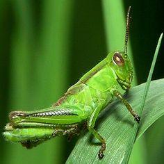 Grasshopper Facts - http://facts.net/grasshopper/