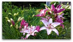 Asiatic Pink Lily Flowers