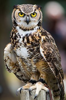 Great Horned Owl Paradise of Birds FB Beautiful Owl, Animals Beautiful, Cute Animals, Owl Photos, Owl Pictures, Owl Bird, Pet Birds, Nocturnal Birds, Owl Eyes