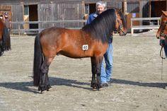 Skogmo Prince N Northlands pony New Forest, Show Jumping, Horse Breeds, Newfoundland, Dressage, Welsh, Ponies, Equestrian, Seal