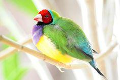 Rainbow Finch by affinity579