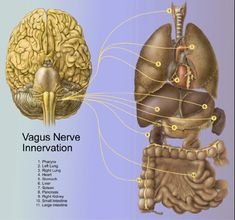 the Vagus Nerve, happens to be at a most fascinating intersection, not only between our two physical nervous systems (our central and autonomic nervous systems) but also between our conscious minds and subconscious minds.