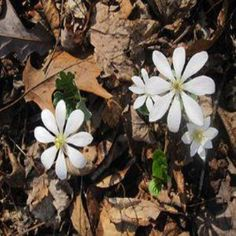 Starting Your Own Black Cohosh, Ginseng, Goldenseal and Other Woodland Medicinal Herbs - Organic Gardening - MOTHER EARTH NEWS