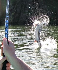 A Sturgeon jumping. Reminds me of home.