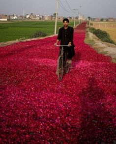 A Pakistani cyclist rides on a street covered with rose-petals spread by wholesale dealers for dry them to supply in market, Sunday, April 2011 in outskirt of Lahore, Pakistan. Pakistan Zindabad, Pakistan Travel, Places Around The World, Around The Worlds, Beautiful World, Beautiful Places, Beautiful Pictures, Pakistani Culture, Illustration