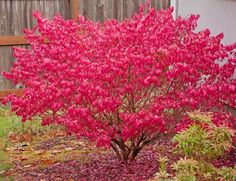 Euonymus alatus, Burning Bush, Winged Spindle Tree, Winged Euonymus, Winged Burning Bush, shrubs, fall color, shrub with berries, red leaves