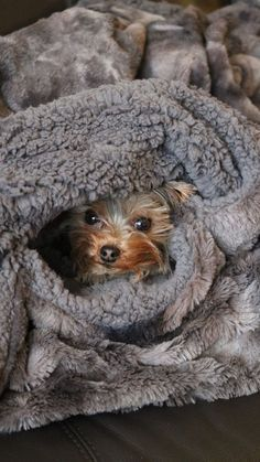 """Get excellent pointers on """"Yorkshire terrier puppies"""". They are actually offered for you on our web site. Yorkies, Yorkie Puppy, Yorshire Terrier, Silky Terrier, Bull Terriers, Pet Dogs, Dog Cat, Pets, Weiner Dogs"""