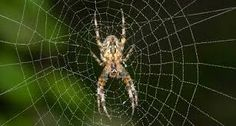 City spiders may spin low-vibe webs