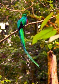 Male Resplendent Quetzal (Pharomachrus mocinno)