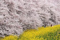 Kumagaya Sakura Tsutsumi 熊谷桜堤