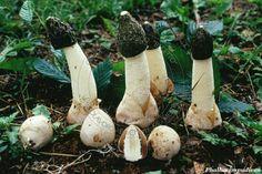 phallus impudicus - Google'da Ara