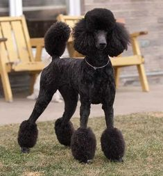 Poodle Grooming, Dog Grooming, Cortes Poodle, Black Standard Poodle, Standard Poodles, Poodle Haircut Styles, Poodle Hairstyles, Boston Terrier, Poodle Cuts