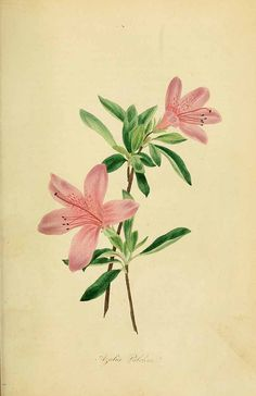 Antique Illustration, Botanical Illustration, Pencil Drawings Of Flowers, Seed Catalogs, Flower Clipart, Botanical Prints, Digital Image, Digital Art, Botany