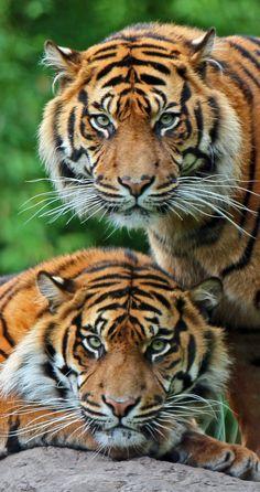 Sumatran Tigers - The Sumatran tiger is a rare tiger subspecies that inhabits the Indonesian island of Sumatra. Beautiful Cats, Animals Beautiful, Beautiful Couple, Beautiful Creatures, Majestic Animals, Big Cats, Cats And Kittens, Siamese Cats, Regard Animal