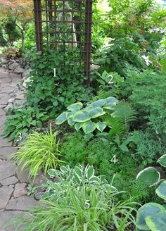 Shade garden 529665606176990048 - Three Dogs in a Garden: Numbered and Identified Shade Planting Schemes Source by Ferns Garden, Shade Garden Plants, Garden Paths, Part Shade Plants, Shaded Garden, Hosta Plants, Fence Plants, Plants Indoor, Green Garden