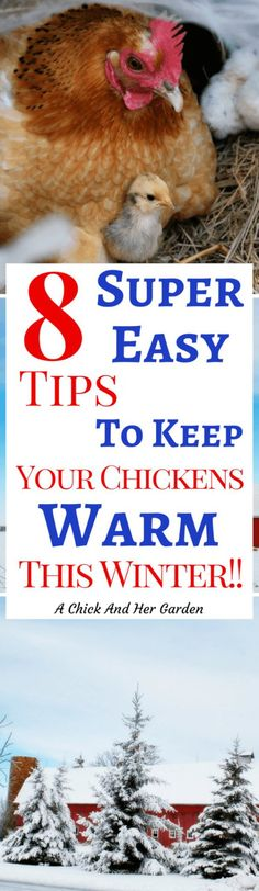 Keeping chickens warm in the winter can seem like a daunting task. But if you follow these tips from the start they'll be toasty warm in the chicken coop!
