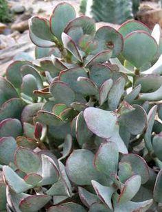 Crassula arborescens Willd.