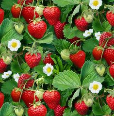 Strawberry Pictures, Strawberry Fields Forever, Strawberry Plants, Strawberry Flower, Strawberry Garden, Strawberry Desserts, Colorful Pictures, Fruits And Vegetables, Flowers