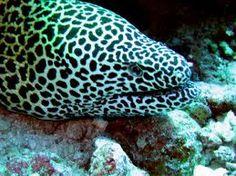 Leopard Moray Eel