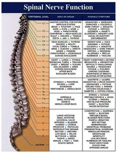 Chiropractic, Back Pain, and the Nerve System – A Philosophy of Health Spinal Nerve, Spine Health, Medical Anatomy, Spinal Cord Injury, Spinal Cord Anatomy, Anatomy And Physiology, Massage Therapy, Physical Therapy, Back Pain