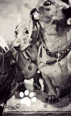 """Crufts 2013 """"The Dachshunds"""" 