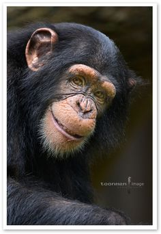 Smile | Chimpanzee, sometimes colloquially chimp, is the common name for the two extant species of ape in the gen Chimpanzee.