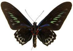 ButterflyCorner.net: Trogonoptera brookiana (Raja Brooke's Birdwing)