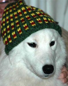 Samoyed - Gma should make Molly a hat. :)