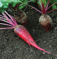 Mammoth Red Mangels - forage crop for cattle, chickens, swine, rabbits, and sheep. Garden Seeds, Planting Seeds, Forage Crops, Fodder System, Red Beets, Weird Food, Down On The Farm, Organic Matter, Livestock