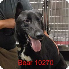 9/14/15♥♥♥ I LOVE PEOPLE AND DOGGIES! ♥♥I AM A GREAT DOG LOOKING FOR A LOVING FOREVER HOME. PLEASE DONT PASS ME BY. COME MEET ME SOON♥♥♥♥♥baltimore, MD - Friends For Animals, German Shepherd Dog Mix. Meet Bear, a dog for adoption. http://www.adoptapet.com/pet/13372913-baltimore-maryland-german-shepherd-dog-mix