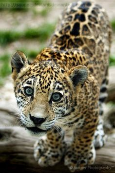 baby animals | young jaguar