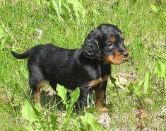 Gordon Setter Puppies For Sale    http://www.cutepuppiesforsale.net/gordon-setter-dog-breed/
