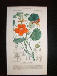 Nasturtium  http://www.antiquarianart.net/botanicals.html#