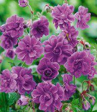 Winterharde geraniums 'Blue Birch Double®'