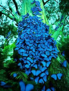 Breathtaking!! Blue Morpho Butterflies!