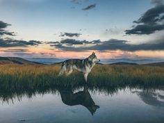 A low content wolfdog (husky, arctic wolf, malamute), living in Colorado where the adventures never end. Loki, Cute Dogs Breeds, Dog Breeds, Wolf Husky, Alaskan Malamute, Animals And Pets, Cute Animals, Pub Vintage, Wayfarer