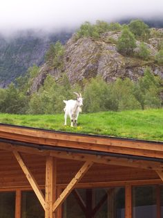 Goat on a green roof.