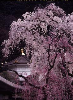 #Sakura blossoms, #japan