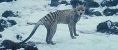 Tazmanian Tiger. Such beautiful amazing creatures.. It's a shame. I so wish I could have seen one in life. :(