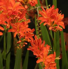 Crocosmia 'Mistral' : Brilliant deep-red, large flowered cultivar, very floriferous. 90cm. high. (EG 2013)