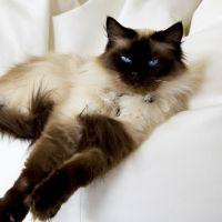 Razze Feline: il gatto Ragdoll